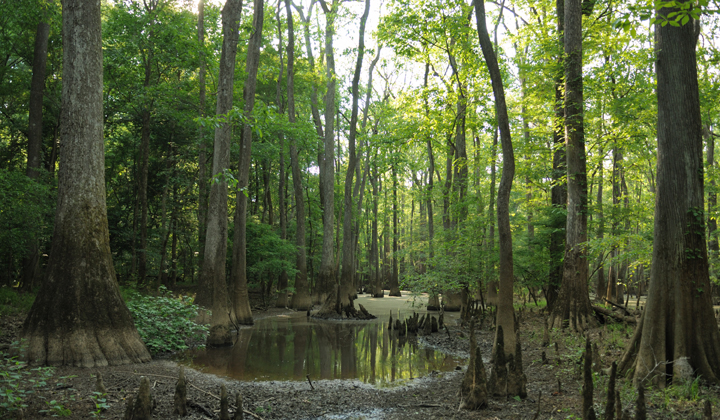 A muddy marshland is filled with vibrant green of leaves and the mottled browns of tree trunks.  A rather large puddle--or very small pond--is the centerpiece.